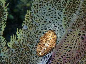 Flamingo tongue snail.  Grenada.